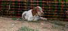 Chupi (boy puppy)_004