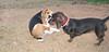 Beagle, Dachshund_001