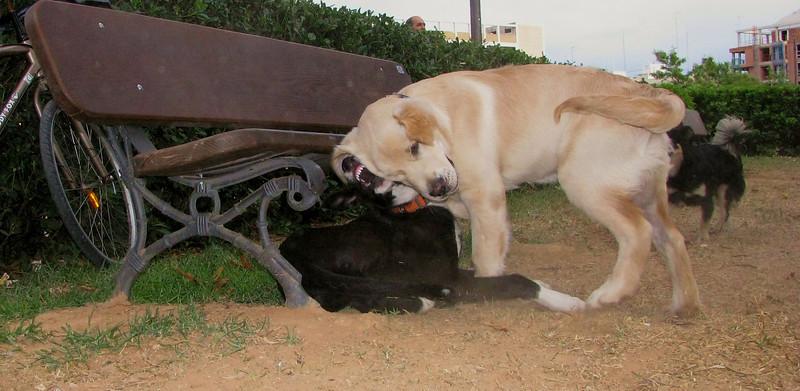 ayora dog, bruce_001
