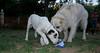Ayora dog puppy, Pluto_002