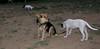 Ayora dog puppy, Maddie_001