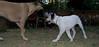 Ayora dog puppy, Mimi_001