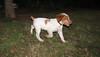 Chupi (puppy, britany)_008