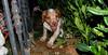 Chupi (puppy, britany)_003