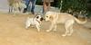 Bruce (puppy), Pug (dog)_001