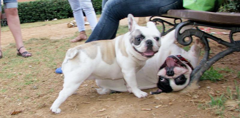 Alice (french bulldog), West (french bulldog)_005