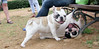 Alice (french bulldog), West (french bulldog)_005