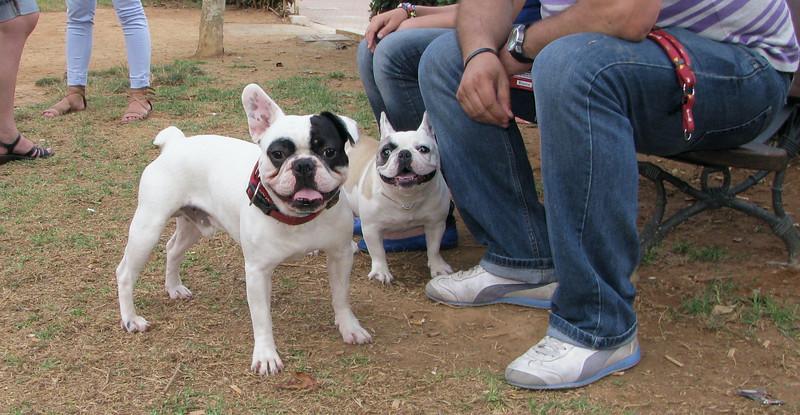 Alice (french bulldog), West (french bulldog)_003