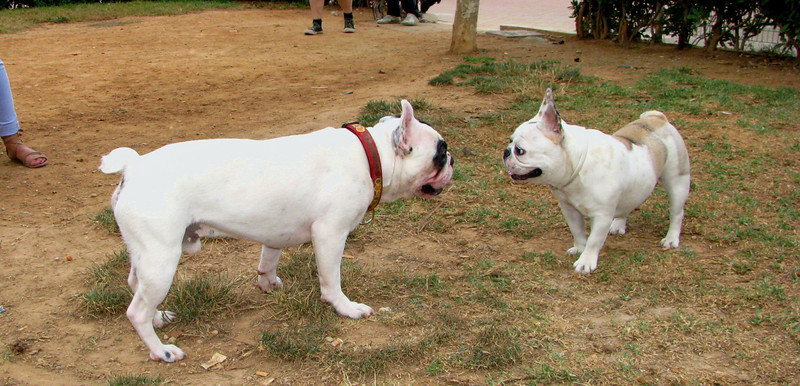 Alice (french bulldog), West (french bulldog)_001