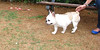 Alice (french bulldog, girl)_002
