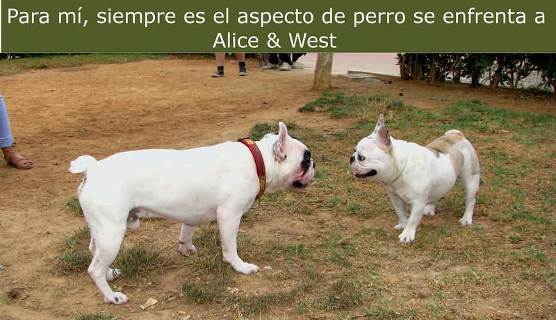 Alice (french bulldog), West (french bulldog)_002