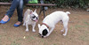 Alice (french bulldog), West (french bulldog)_006