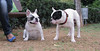 Alice (french bulldog), West (french bulldog)_007