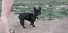 Audrey (french bulldog)01