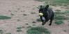 Audrey (french bulldog)02