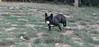 Audrey (french bulldog)03