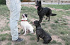 audrey, french, bulldog, Aitana, West