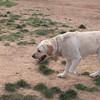 Angel, guiding eyes dog