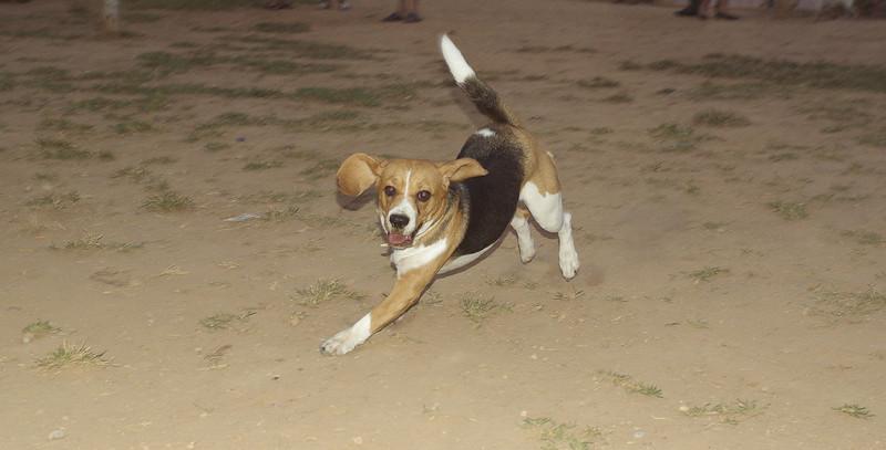 Beagle dog_001