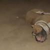 Horgo (pitbull boy)_001
