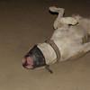 Horgo (pitbull boy)_002