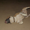 Horgo (pitbull boy)_003