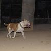 Horgo (pitbull boy)_005