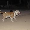 Horgo (pitbull boy)_004