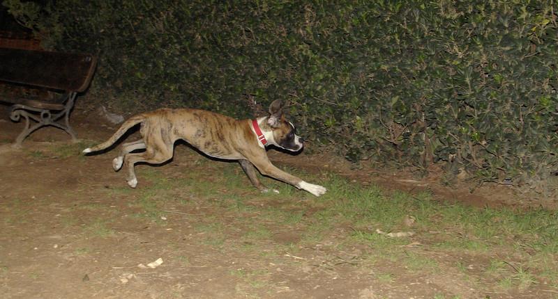 Boxer (pup)_001