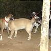 Boxer (pup)_002