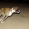 Boxer boy pup_003
