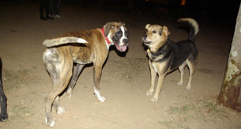 Boxer boy pup, Maddie_001