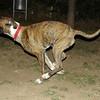 Boxer boy pup_002