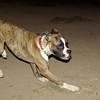 Boxer boy pup_001