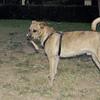 Angus (boy dog)_003