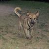 Angus (boy dog)_002
