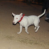 Bull terrier girl puppy_001