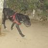 Guerro (boy pup)_002