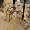 fence, gate, Maddie, costume, cowgirl, ayora