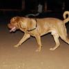 Brutus (french mastiff)_001
