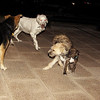 Zeus (puppy), Messi (new), Maddie, Pearla_001
