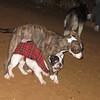 Naia, naya, rambo, pitbull, french, bulldog, ayora