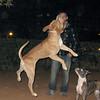 tyson, jump, leap, ayora, pitbull