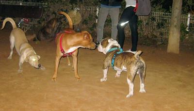 axel, pitbull, bulldog, ayora