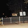 tyson, gate, leap, fence, jump, pitbull, ayora