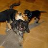 Fuig, Maddie, boss (puppy)_001