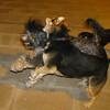 Fuig, Maddie, boss (puppy)_002