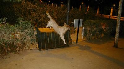 Bruce, gate, fence, leap, jump, ayora