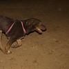 Choco (girl puppy, 1st)_001