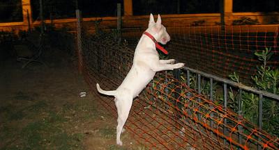 Sira (bulldog terrier girl)_001